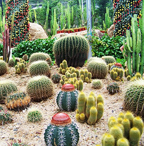 3 Packs Of Mixture Of Cactus Seed  1 Pack 10 Seeds Cactaceae Cacti Barbary Fig Bulbous Cactus Garden Seed F006